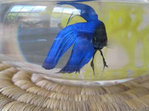 Sunny the male Betta Fish likes to see what is going on