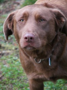 Millie is yor practice animal for Feb. 11 She is a 2 1/2 yrs old lab/shepherd cross.